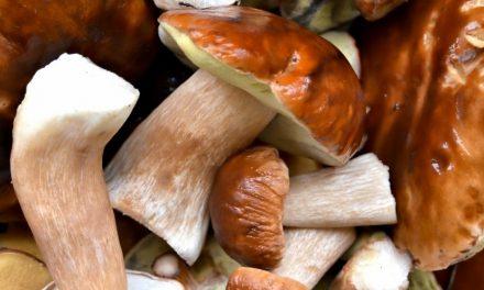 Pilze sammeln – Das ist zu beachten